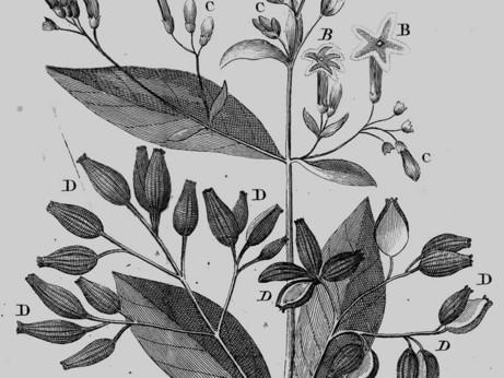 2_cinchona_officinalis_sur_l_arbre_du_quinquina_1738