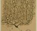 Ramon-y-cajal-santiago_purkinje_cell_human_cerebellum-2938